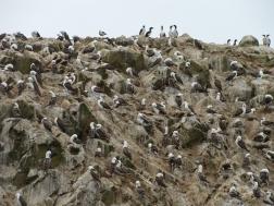 Islas Ballestas bird swarm