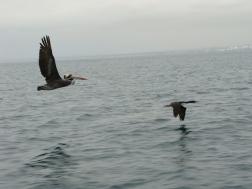 Bird life, Islas Ballestas