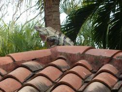 House iguana
