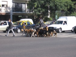 Industrious dog-walker